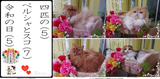 Seesaa用2019-5-1猫川柳4匹のペルシャとスコ令和の日psd-side.jpg