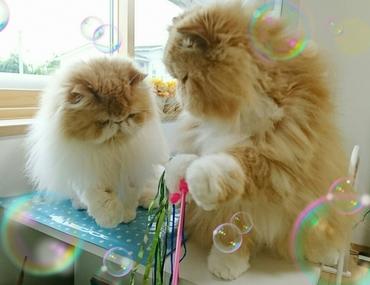 ルネとモコ猫ボンボンじゃらし.JPG