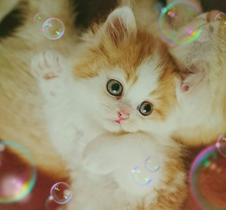 可愛い子猫シャボン玉17221.JPG
