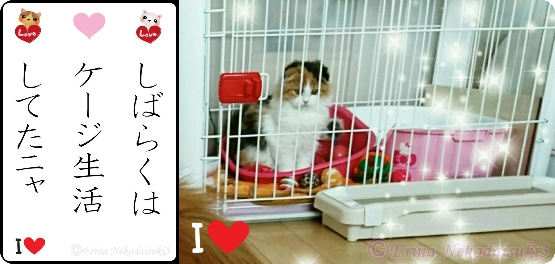 角丸2連結Ⓒ川柳レナしばらくはケージ生活してたニャレナちゃん-side.jpg